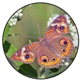Butterfly Magic includes lessons about the life cycle of such butterflies as this buckeye.